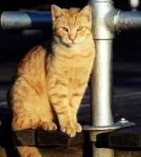 עיקור/סרוס חתולי ראשון לציוון