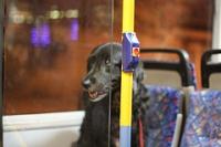 דורשים ממשרד התחבורה לאפשר גם לכלבים גדולים לעלות לאוטובוסים